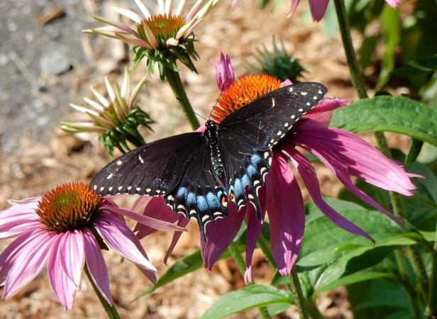 Papillons PieIX