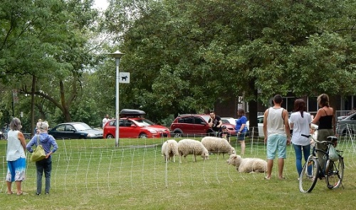 Moutons de Rosemont