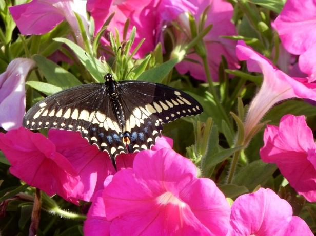 a Papillon queu-courte Montréal