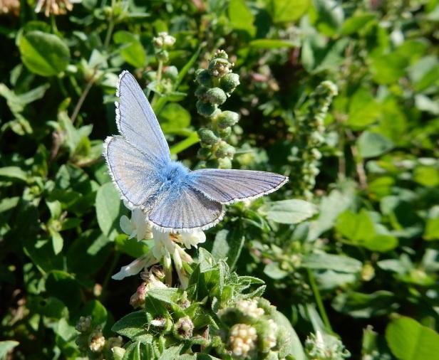 Papillon Bleu-argenté Dorval Montréal