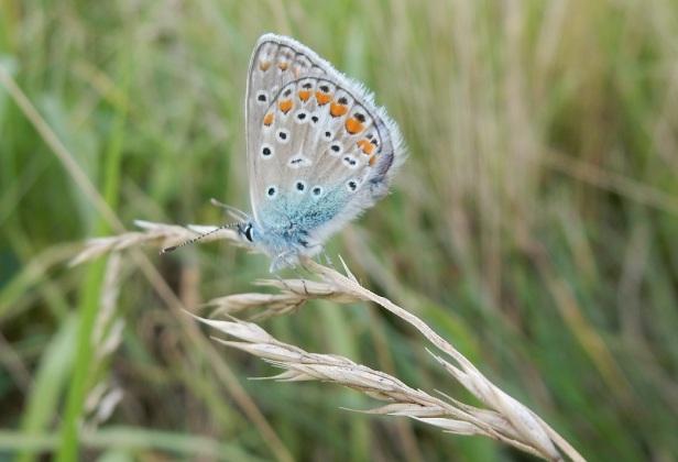 Papillon bleu-argenté Parc Frédéric-Back Montréal
