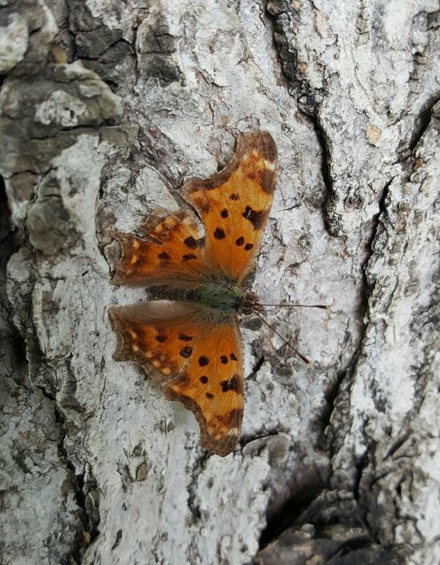 Papillon Grande Vanesse Parc Préfontaine