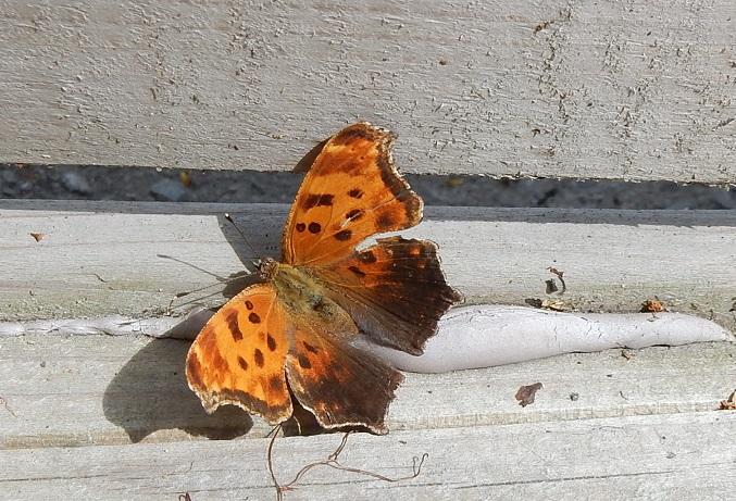 Papillon Grande Vanesse Ruelle Villeray