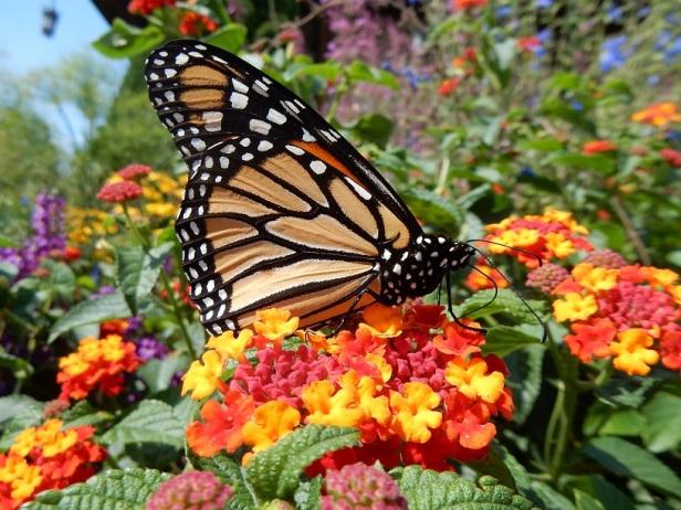 Papillon monarque Mont-Royal Montréal