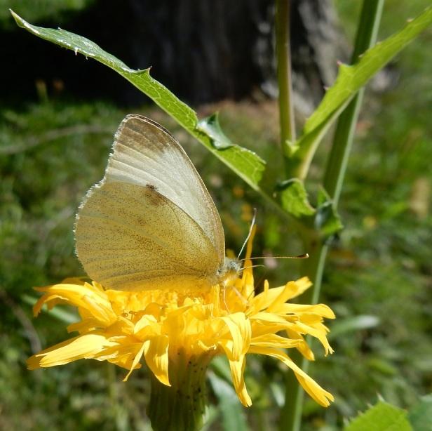 Papillon Piéride du chou Côte-des-Neiges Montréal