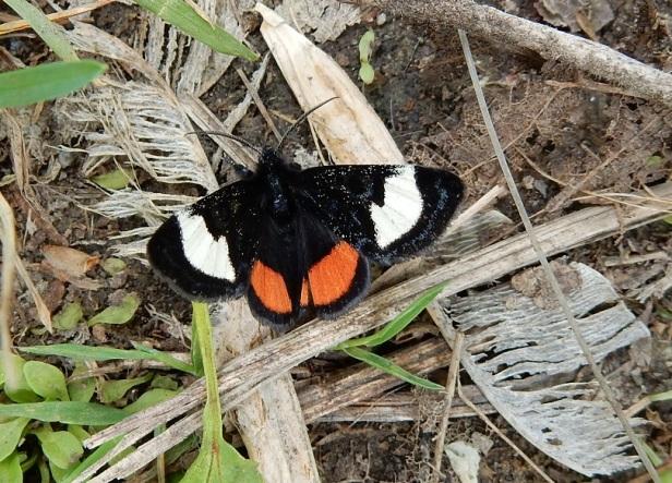 Papillon Psychomorpha epimenis Verdun en face de l'île des soeurs Montréal