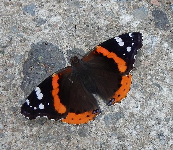 Papillon Vulcain rue Drolet Villeray Montréal