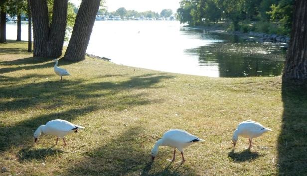Oies blanches à Lachine