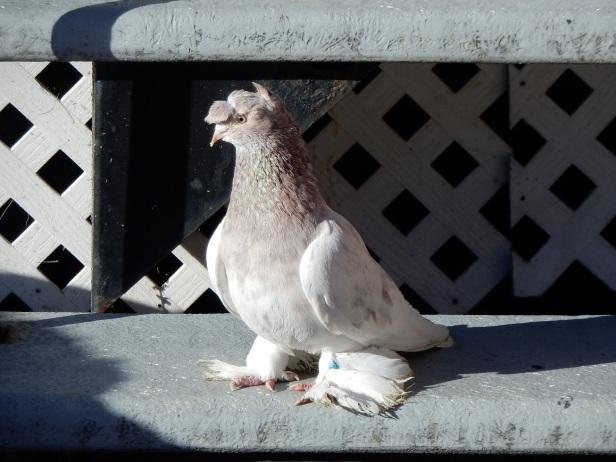 Pigeon de fantaisie Ville-Emard