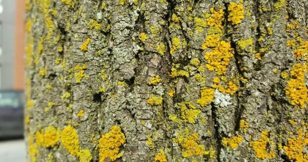 Lichens Montréal arbres (2)