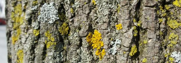 Lichens Montréal arbres (3)