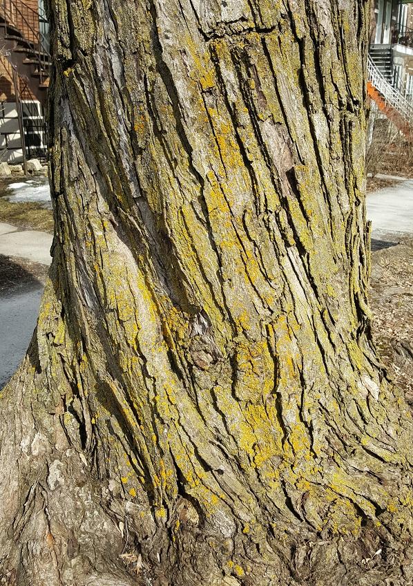 Lichens Montréal arbres (5)