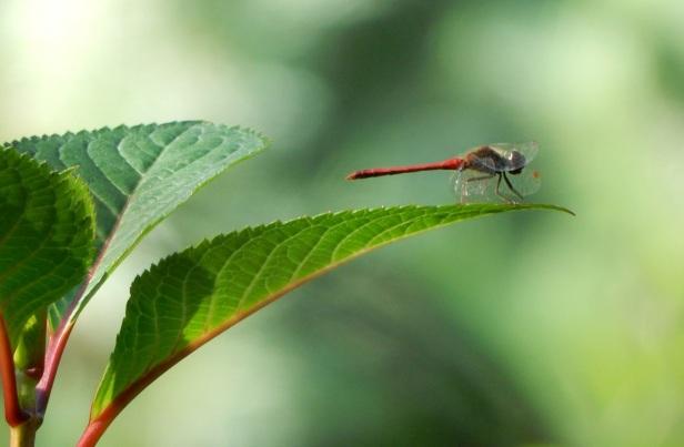 1 Libellule sympétrum rubigineux mâle Jardin botanique