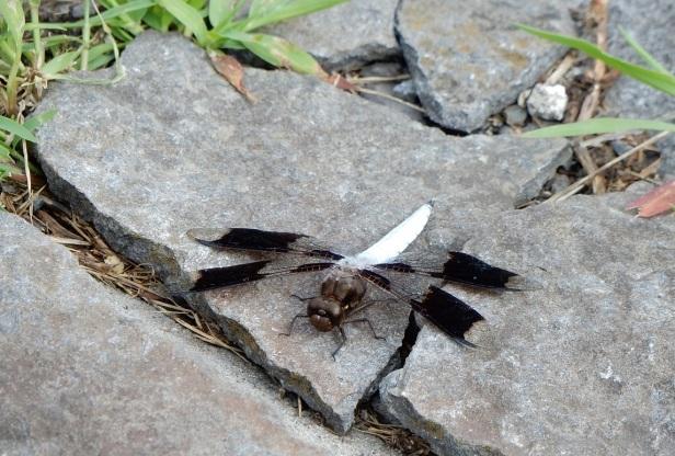 6 Libellule lydienne mâle Parc de l'ex église Ste-Ann dans Griffintown